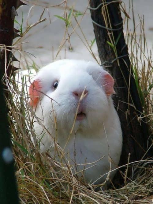 Curious white guinea pig