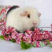 Beautiful white guinea pig