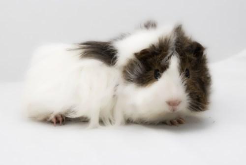 Lovely guinea pig