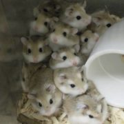 Attractive hamsters