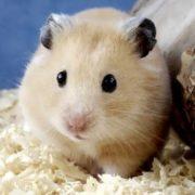 Pretty hamster