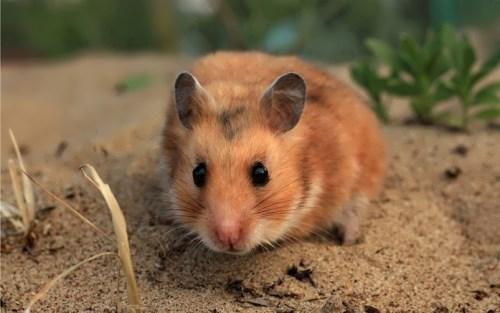 Gorgeous hamster