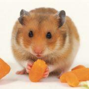 Charming hamster
