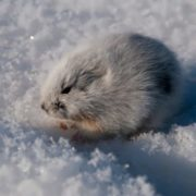 White lemming
