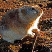 Beautiful lemming