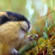 Lemming – cute fluffy creature