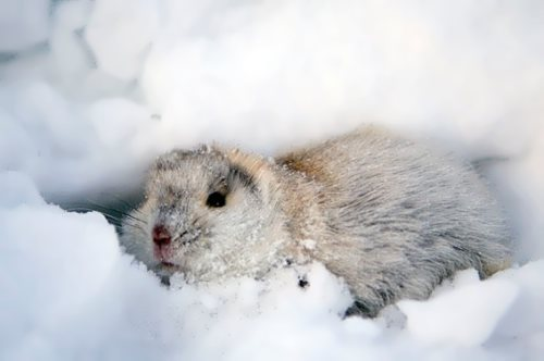 Lemming in snow