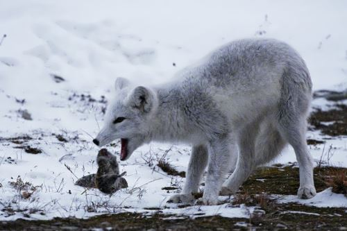 Arctic fox is catching a lemming