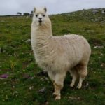 Llama – Bounty of the Andes