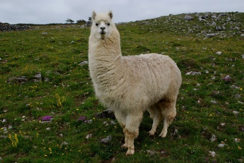 Llama - Bounty of the Andes