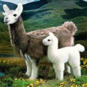 Gorgeous llamas