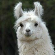 Magnificent llama