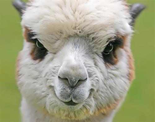 Gorgeous llama