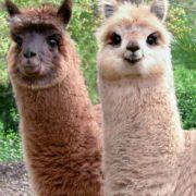 Cute llamas