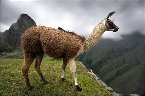 Graceful llama