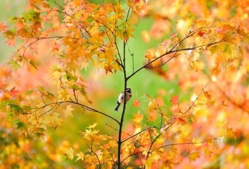 Attractive maple