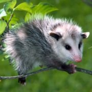 Attractive opossum