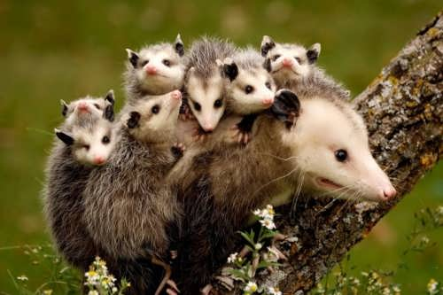 Mother possum and her kids