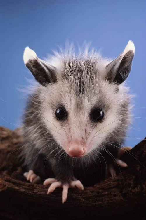 Beautiful opossum