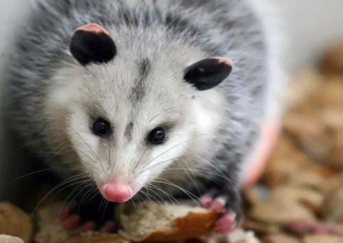 Charming opossum