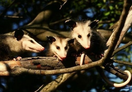Gorgeous opossums