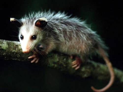Cute opossum