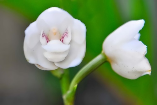 orchid dove
