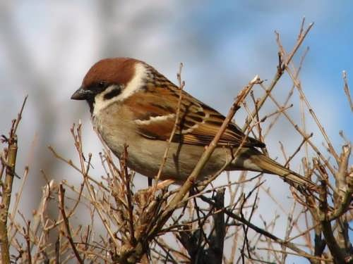 Attractive sparrow
