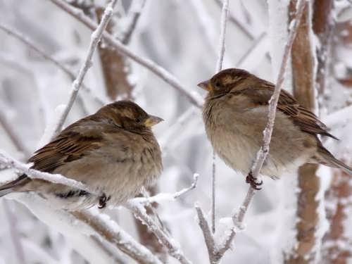 Beautiful sparrows