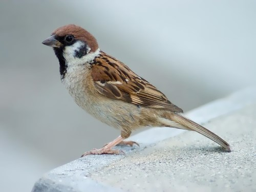 Charming sparrow