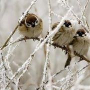 Attractive sparrows