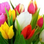 Tulips – From Bulbs to Beauties