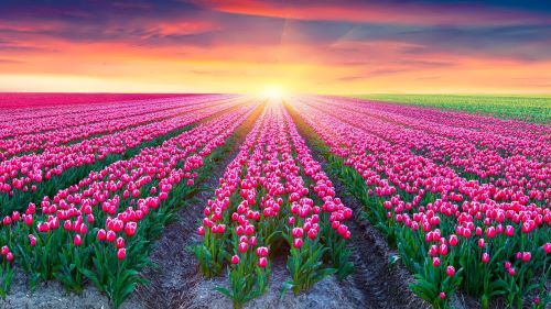 Picturesque tulip fields