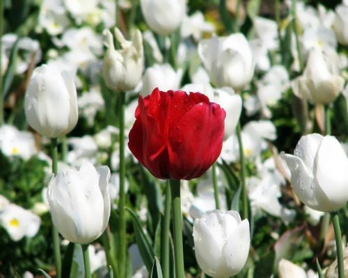 Cute tulips