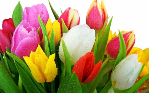 Tulips - From Bulbs to Beauties