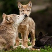 Charming wolves