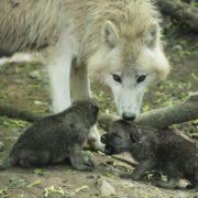 Pretty wolves
