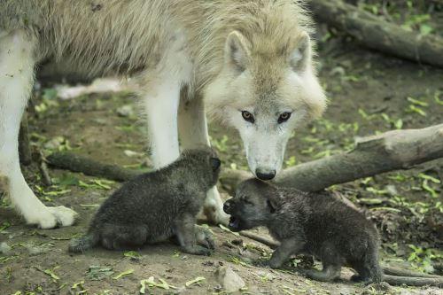 wolf 8 wander lord
