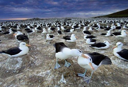 Wonderful albatrosses