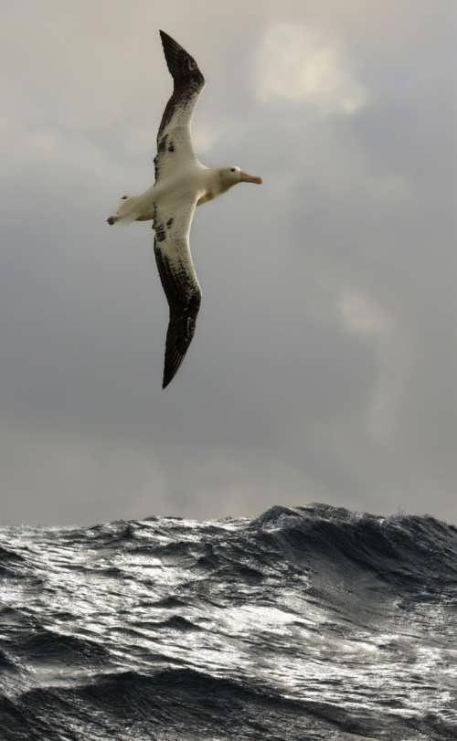 Great albatross