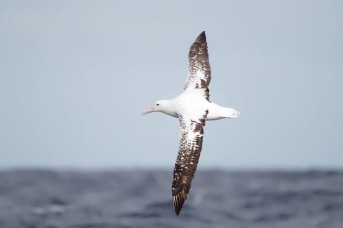 Attractive albatross