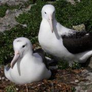 Interesting albatrosses
