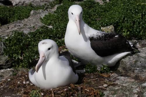 Interesting albatrosses