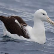 Graceful albatross