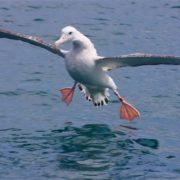 Magnificent albatross