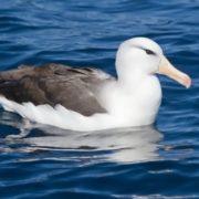 Cute albatross