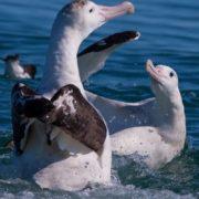 Stunning albatrosses