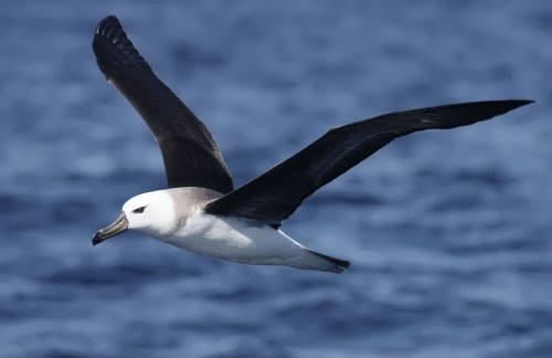 Charming albatross