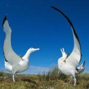 Albatross courtship
