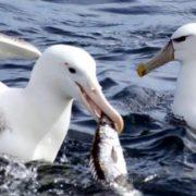 Albatross eats Barracuda